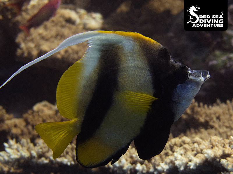 Banner fish found an as good as all reefs of the Red Sea. Often in a pair or small school.