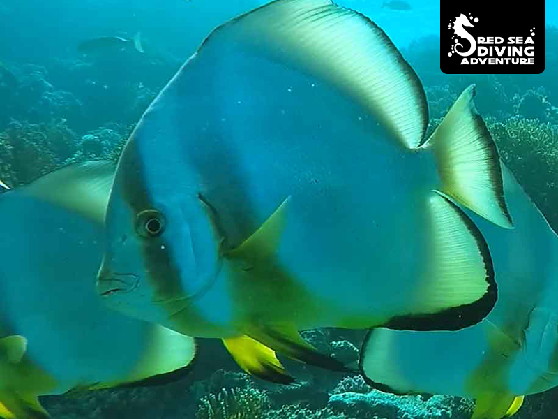 Batfish are usually found in a group or school. They are very curious however also a bit scared of us. So approach gently and stay relaxed and you will find these beautiful fish swimming around you.