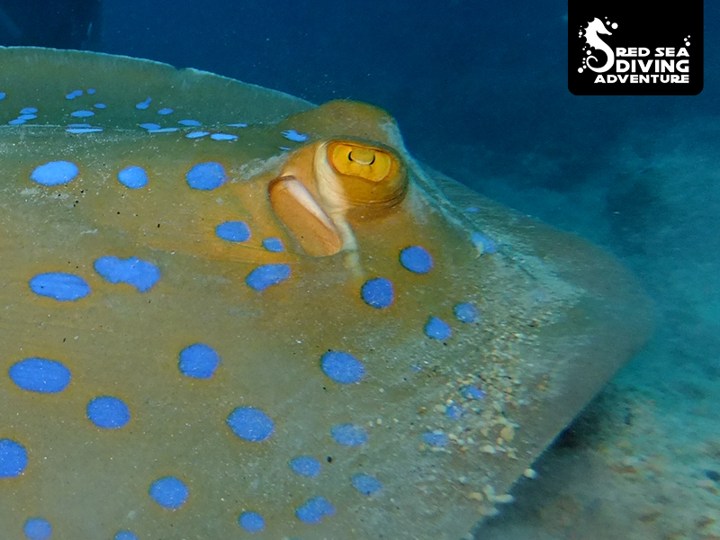 The blue spotted stingray often lies in the sand in lagunes.