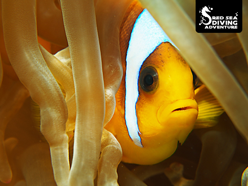 A clownfish a.k.a. Nemo that lives in a specific Anemone where the fish protects the anemone in the day and the Anemone returns the favor as she closes at night protecting the fish.