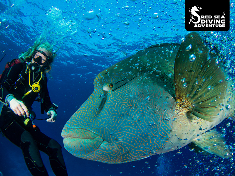 This Napoleon Wrasse at Saint Johns Caves lover to swim with us.