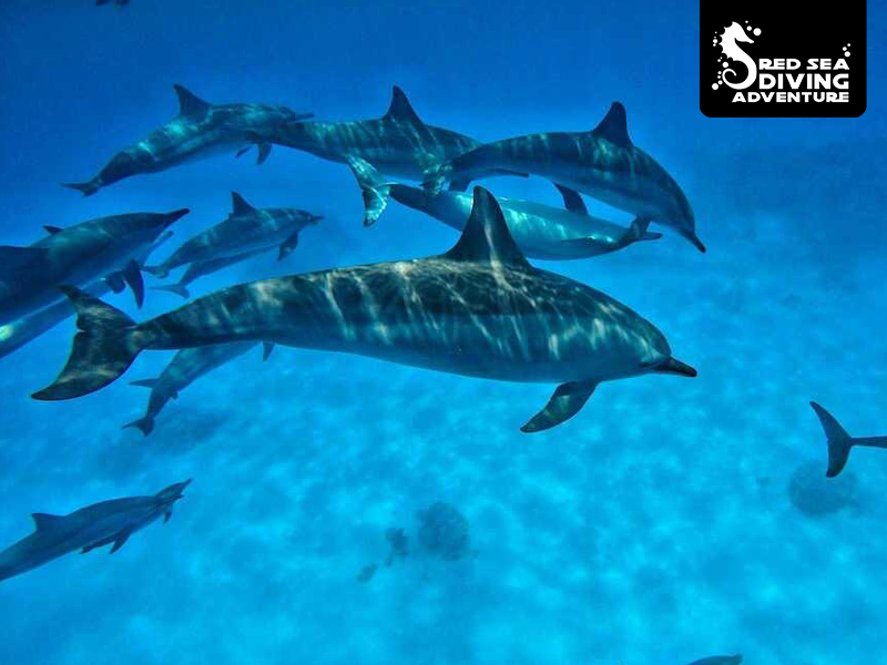 Spinner dolphins are seen mostly in the Deep South of Egypts Red Sea. They gather in large offshore lagoons to relax after hunting.