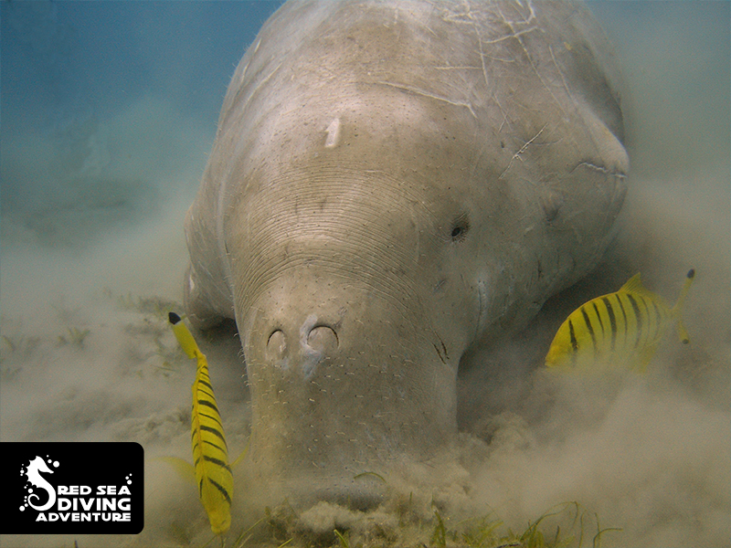 The Dugong, one of the seacow species that loves feeding on seagrass.