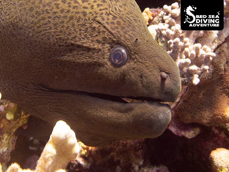 The giant moral eel lives on most reefs of Egypts Red Sea. Sometimes running up to 2,5 meters they like to relax during the day and come out to hunt at night.