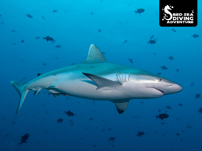 The grey reef shark can be found single or in a group. Usually she is shy towards divers and to be found in places where the currents change the most.