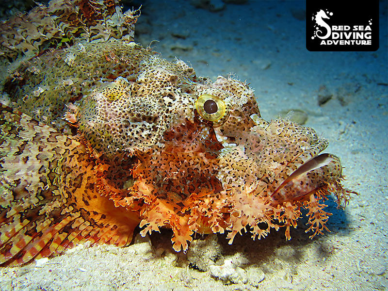 the bearded scorpion fish can change it colors as means to blend into the background.