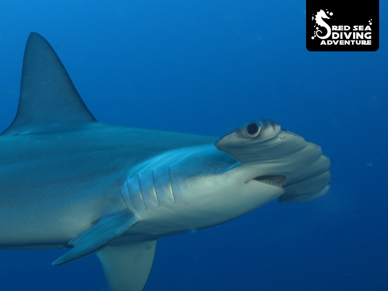 This hammerhead shark can be found on offshore reefs like brother islands or Daedalus Reef. This species is quite shy although curious if we divers know how to respect them.