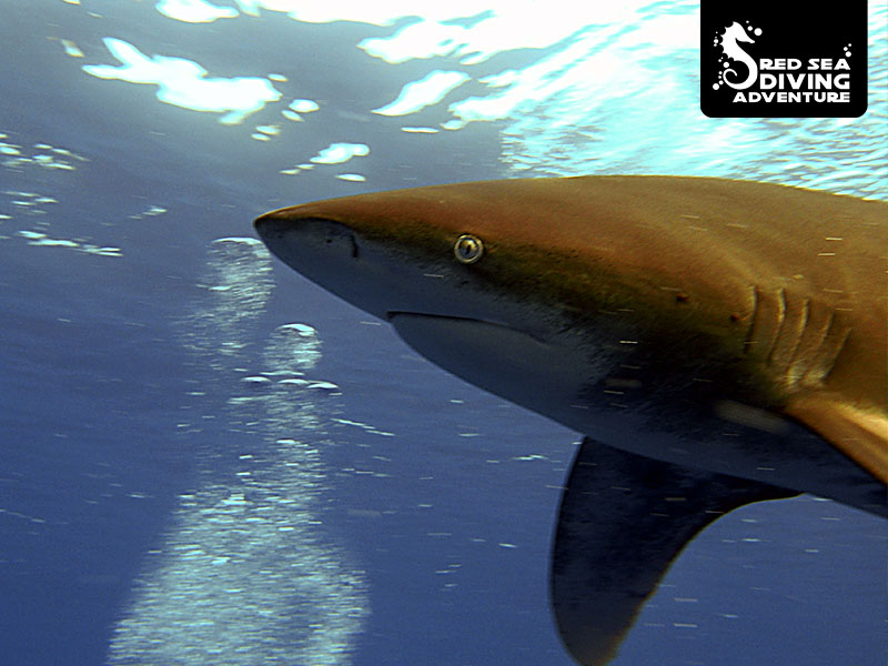 The silky shark is curious but shy and has a skin and color that reminds of silk.