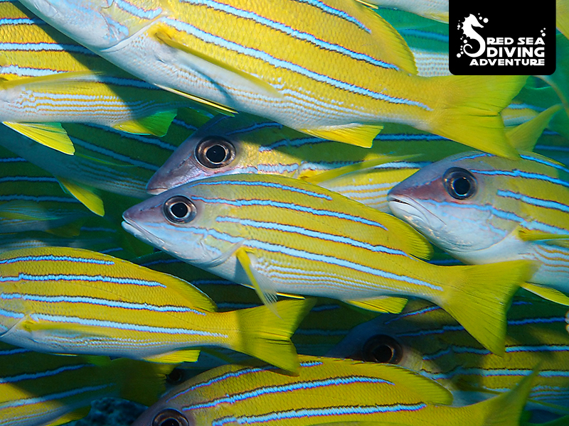 The blue lines snapper loves the school and as you come close they become more dense.