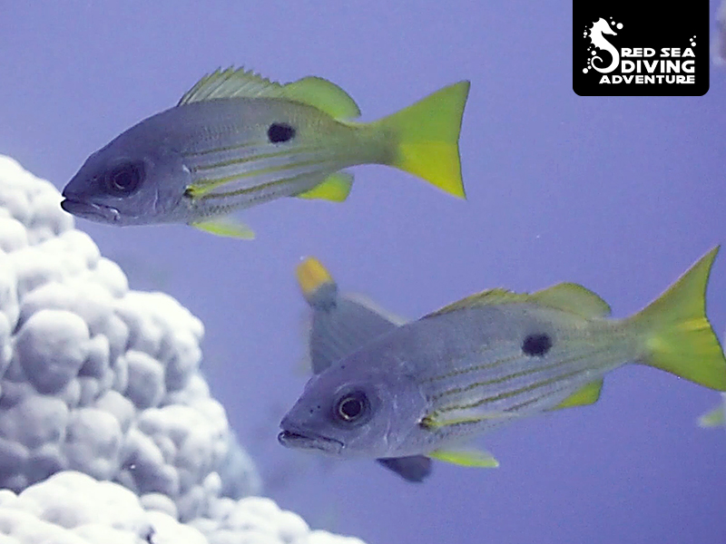 With one spot on its tail this snapper likes to hang between reef elements in a school.