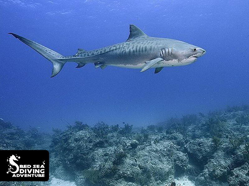 Tiger sharks are rarely seen in the Red Sea as they are believed to live on deep plateaus and traveling from reef to reef.
