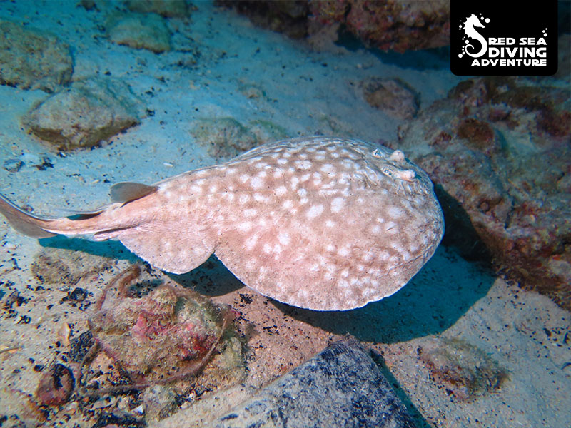 The torpedo or electric ray hides in the sand awaiting prey that he will stun with an electric shock by means of catching food.