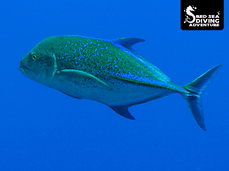 Usually swimminglike it needs to catch a train along reef walls hunting for fish and often seen in small groups. This is the bluefin trevali.