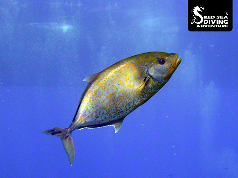 Sometimes few spots sometimes almost completely yellow, meet the gold dotted trevalli.
