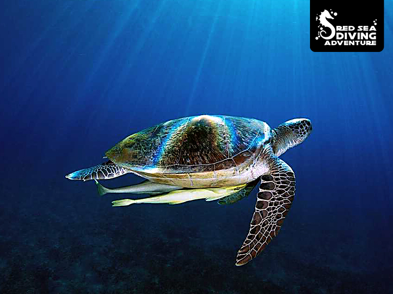 Green or sea turtles can become quite big (1,5 meters) and swim the blue waters hopping from reef to reef to rest for to feed