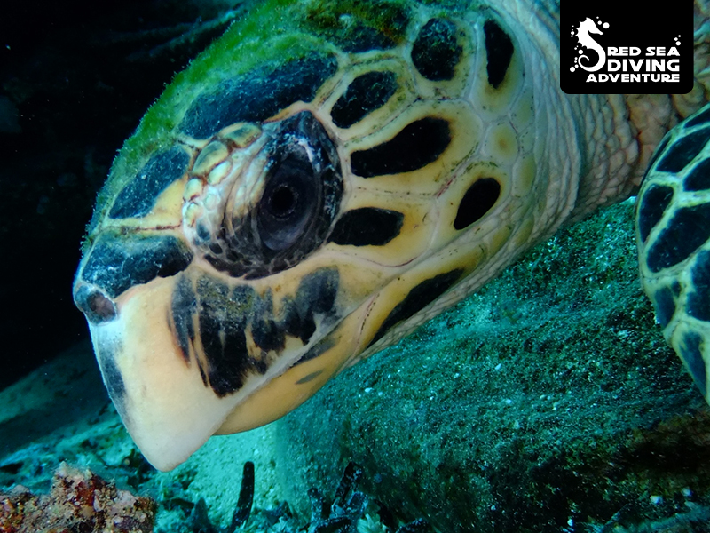 A hawksbill turtle, commonly found on most reefs in the Red Sea, including some wrecks.
