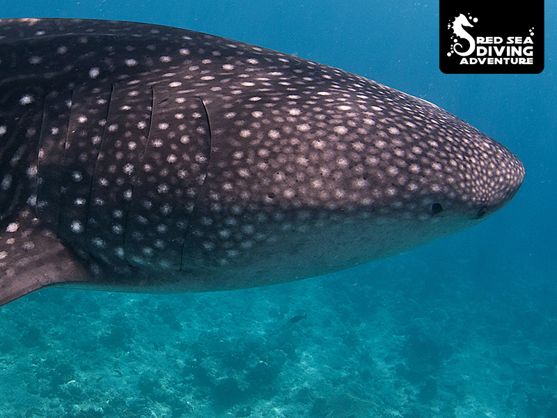 The largest fish on the planet, the whale shark. Feeding on plankton and traveling worlds oceans.