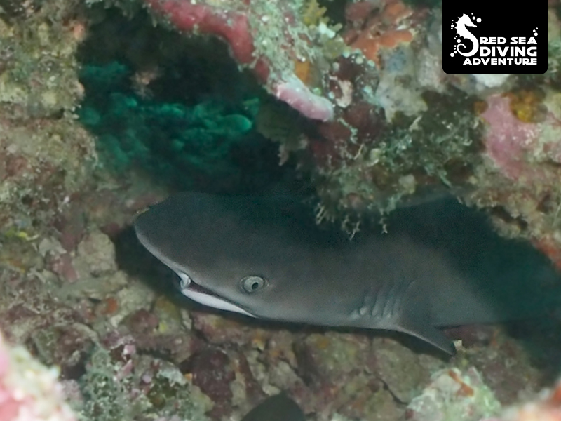 A juvenile white tip reef shark hiding under blocks and in small caves to protect itself from larger predators.