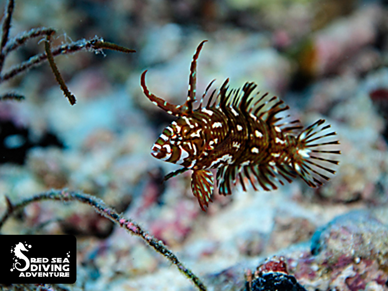 With open fins and two strange extensions on its head this is the juvenile rock mover wrasse.